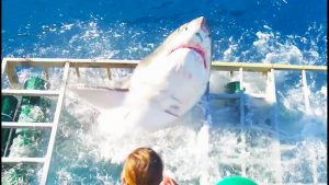 Great White Shark Enters Cage With Diver