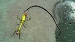 Guy Kills a Zombie Praying Mantis, Revealing a Huge Parasite Living Inside