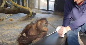 Orangutan Reacts to Magic Trick